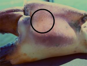 Florida Stone Crab claw