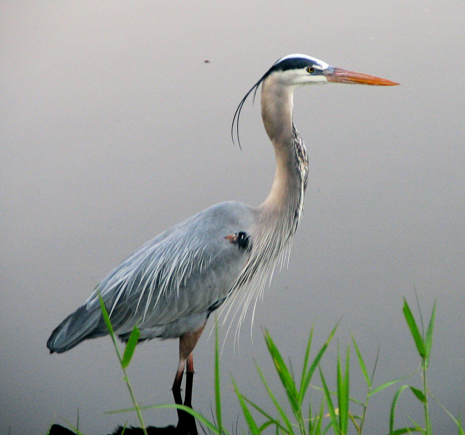 great-blue-heron-2