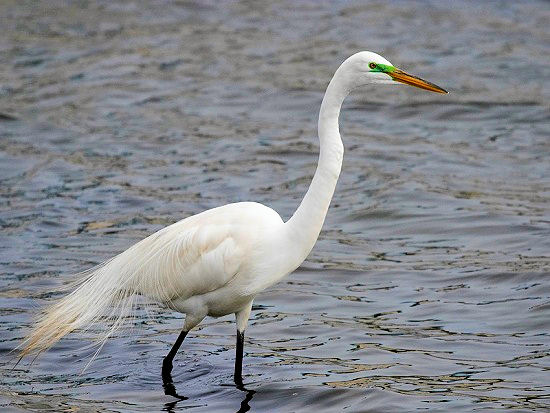 great-white-egret-2