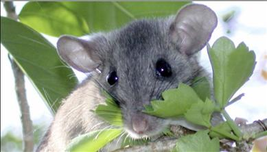 Key Largo Woodrat