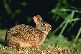 marshrabbit