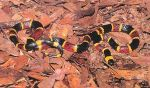 eastern-coralsnake