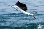 sailfish-2-2