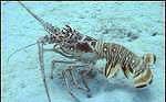 cropped-lobster.jpg
