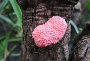 The eggs of the apple snail looked like bubblegum stuck to the cypress knees along the Loxahatchee River on a March trip.