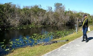South Florida Bike Trails: Alligator at Shark Valley, Everglades National Park