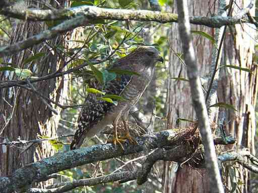 Corkscrew Sanctuary Naples hawk