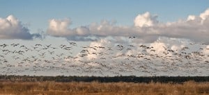 Flock of sandhill cranes take flight at Paynes Prairie Preserve, 2008