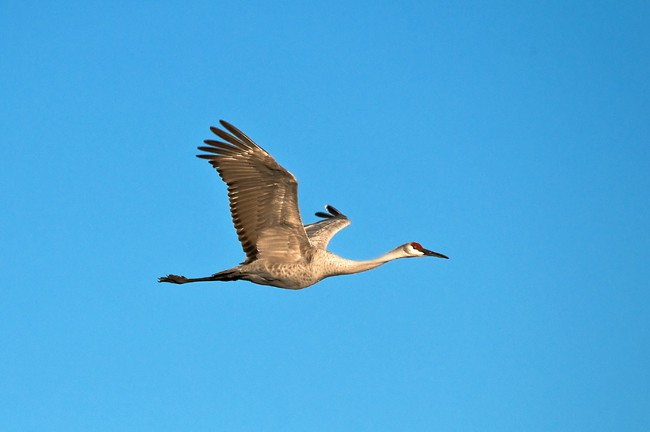 Single Sandhill Crane at Paynes Prairie Preserve in Florida