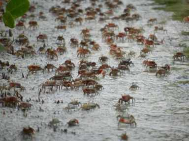 Army of fiddler crabs at Tigertail Beach on Marco Island