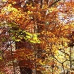 Fall colors can be seen at Florida's Torreya State Park