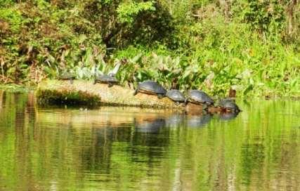 Silver-Springs-6-turtles