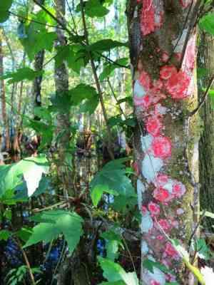 This lichen is often called Christmas tree lichen. Seen at Corkscrew Bird Rookery Swamp Trail.