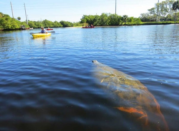 In the Orange River near the Fort Myers FPL plant, kayakers can paddle admist dozens of manatees on cold winter days.