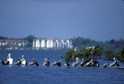 Brown and white pelicans at Pelican Island NWR. (Photo: George Gentry, USFWS)