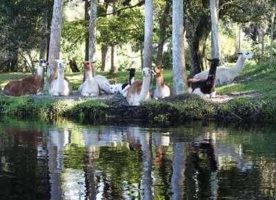 Llamas along Telegraph Creek near Fort Myers. (Photo: Mike Hammond)