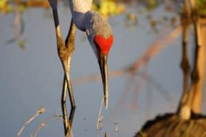 sandhill crane on lake okeechobee