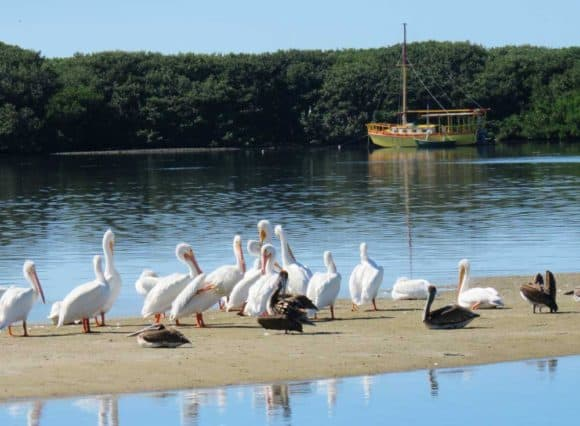 White pelicans gathering off the waterfront in Cortez. (Photo: Bonnie Gross)