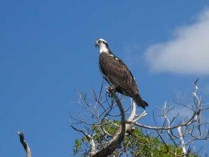 Mound Key Archaeological State Park osprey