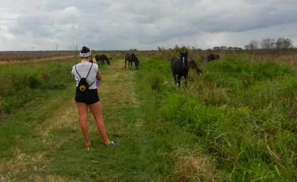 Wild horses along La Chua Trail, Paynes Prairie Preserve State Park near Gainesville.