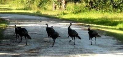 Turkeys cross the trail at Riverbend Park, Jupiter