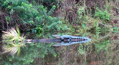 Small, shy gators were easy to spot along Shell Creek near Punta Gorda