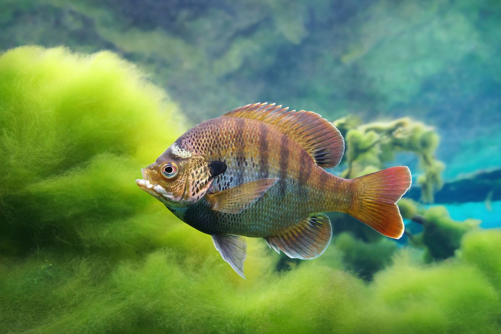 https://floridaspringsinstitute.org/springsfieldguide-fish/bluegill/