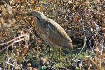 Bittern at Paynes Prairie