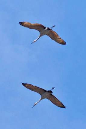 Sandhill Cranes Flock to Paynes Prairie in Winter