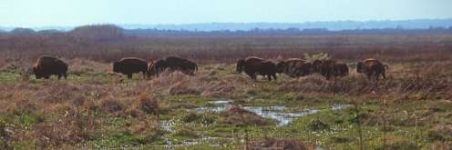 Wild Bison at Paynes Prairie