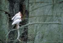 Ibises at Paynes Prairie State Preserve