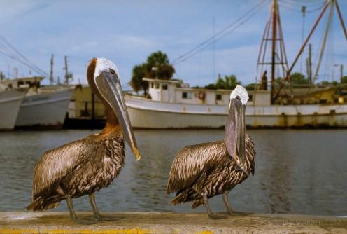 Tarpon Springs Pelicans