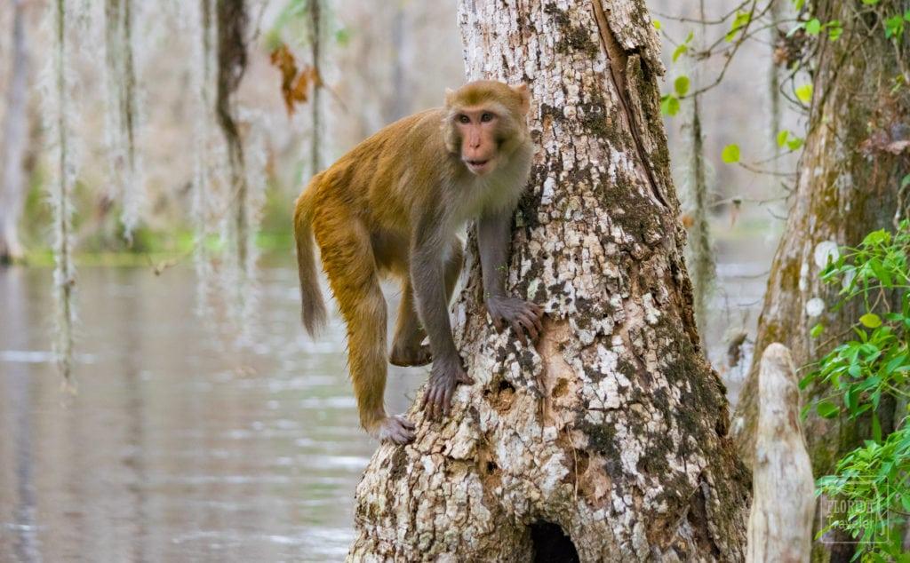 Silver Springs - Rhesus Macaques