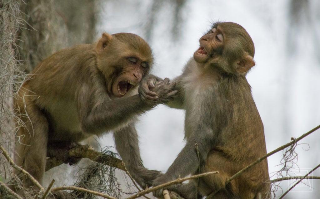 Rhesus Monkeys Arguing