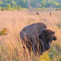 Wild Bison Call this Florida Prairie Home