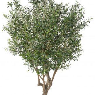 Olivo 2.15mtrs altura