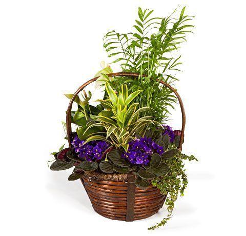 cesta-de-plantas-variadas-con-chamaedorea-y-saintpaulias