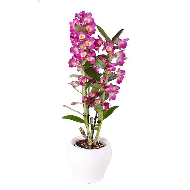 Dendrobium. Plantas, Cestas y Composiciones. Floristería Pétalos · Tienda Online con envío a domicilio en Alcalá de Henares · Madrid