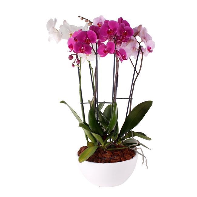 Orquídea Rosa. Plantas, Cestas y Composiciones · Tienda Online en Alcalá de Henares · Madrid