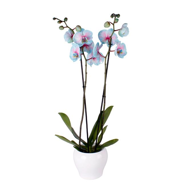 Orquídea azul. Plantas, Cestas y Composiciones · Tienda Online en Alcalá de Henares · Madrid
