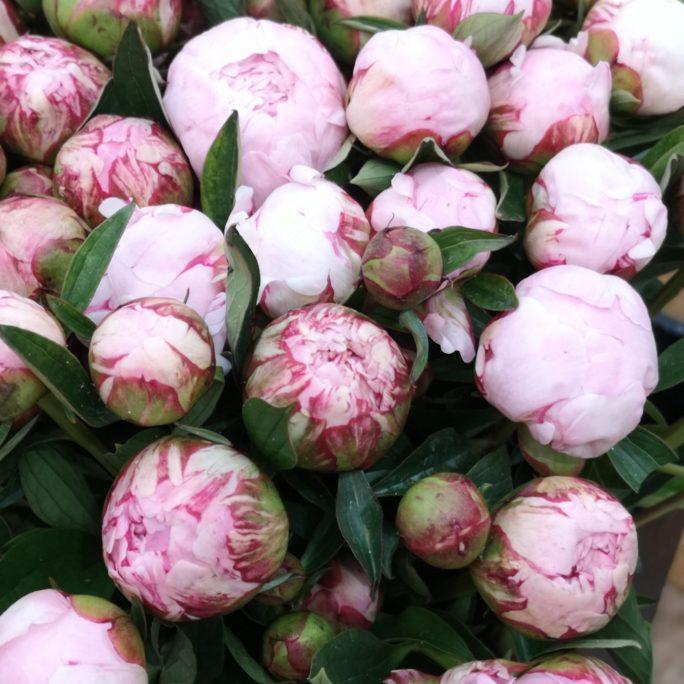 Pfingstrosen rosa Pur