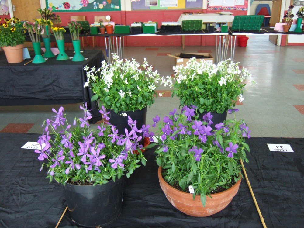 A FLAVOUR OF THE SOCIETY  ANNUAL SHOW HELD YESTERDAY  22ND JUNE 2013 (3/4)