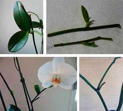 Орхидея - үйде көбею әдістері