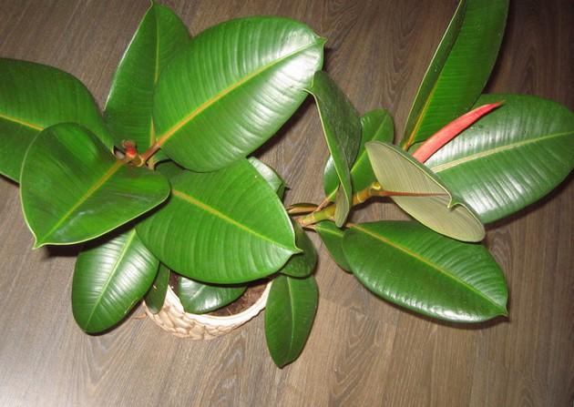 Ficus ысқылауы - үйдегі қону және күтім, көбею және ауру