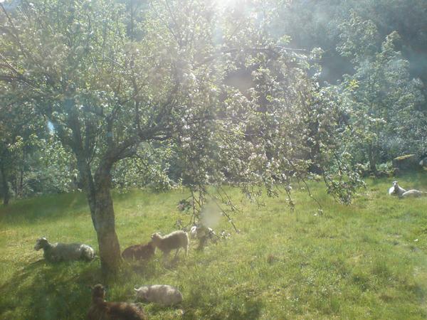 Flørli the sheep in the morning sun