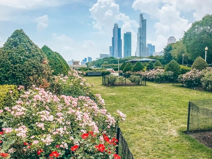 Rose flower garden with skyscrapers as backdrop in Chicago's Grant Park
