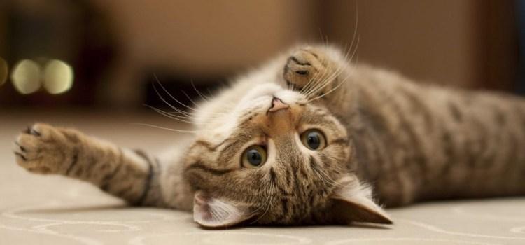 Het effect van kattenkruid