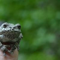 Chameleon-like frog ( BIBPC #2 )