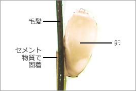 シラミの卵は毛髪にセメント物質でガッチリ固定されている