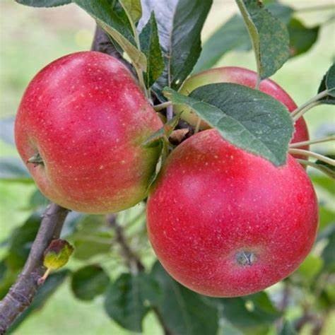 Apples - Gala (4)